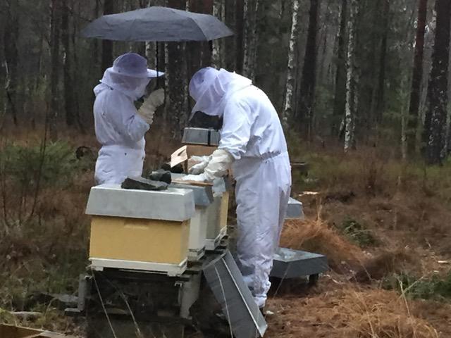 Varroabehandling i regnvær. Fotografen fikk bier i drakta og skalv kanskje litt på hånda. Men bare ett bistikk. Foto: Kari Omholt